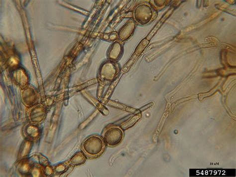 Cylindrocladium blight and root rot (Cylindrocladium