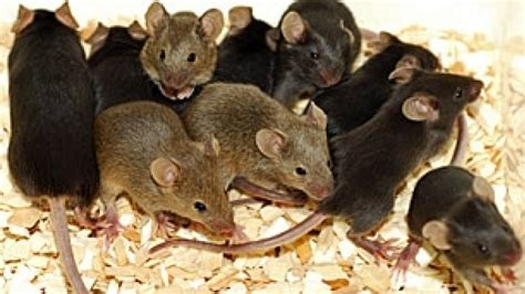 Mice moving indoors in Sask