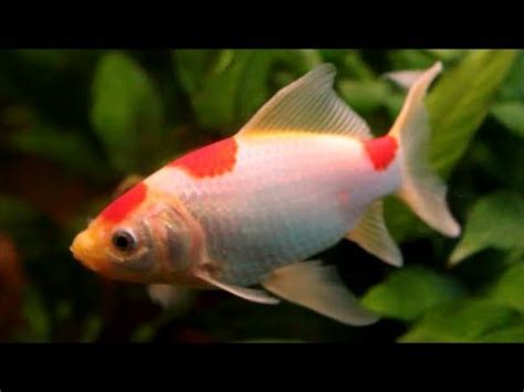 Hints on How to Keep the Goldfish - Sarasa Comet - YouTube